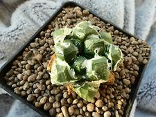 Ariocarpus fissuratus v.lloydii / mutation ? Garden origin - selected / seedling