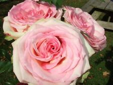 Free Shipping - Old World Rose seeds - Hard to get Roses