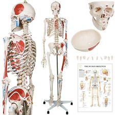 Jago® Menschliches Skelett 181 cm Anatomie Lehrmodell Muskeln mit Ständer+Poster