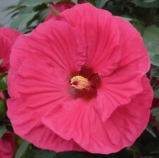 """SUMMER IN PARADISE Hardy Hibiscus  --  Plant in 4.5"""" pot"""