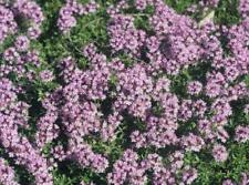 Pack x6 Creeping Thyme 'Red Coccineus' Perennial Garden Herb Plug Plants