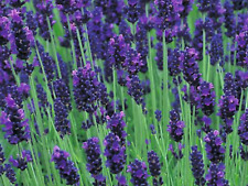 "Lavender Seeds ""True"" (Approx 200 Seeds) A Beautiful Purple Flower"