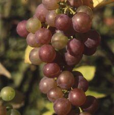 Grape Vine (Vitis) Strawberry
