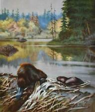 Beaver by Walter Weber 1940s print