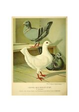 Pigeons Illustration German Birds Lithograph Print by Gustav Prutz 1884 Doves