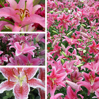 50pcs Pink Rare Lily Flower Seeds Planting Flower Lilium Perfume Garden Decors