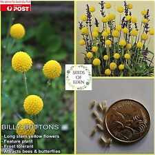 15 BILLY BUTTONS SEEDS (Craspedia globosa); Australian native garden plant