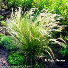 Plumas De Hierba - 10 Semillas-Stipa pennata-perenne ornamentales Grass
