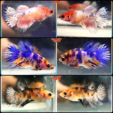 Live Betta Fish Set x3 Fancy Koi Crowntail Females Mixed