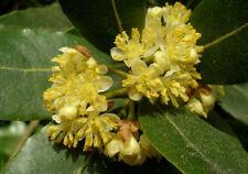 Bay Tree (Laurus nobilis) - 10 Fresh 2018 Seeds