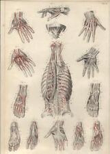 Stampa antica ANATOMIA MANO PIEDE POLMONI medicina 1844 Old antique print