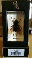 REAL Murder Hornet Wasp Insect Bug Resin Taxidermy specimen paperweight NEW MB91