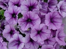 1,000 Pelleted Candypops Blueberry Pelleted Petunia Seeds BULK SEEDS