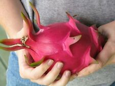 20x Riesen Rote Drachenfrucht Samen Kaktus Zimmer Garten Pflanze Neu #308