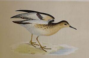 c1875 ANTIQUE PRINT BUFF-BREASTED SANDPIPER HAND COLOURED British Birds Morris
