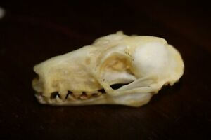 A Real Bone African FEMALE HAMMERHEAD BAT skull Animal Mammal Taxidermy Art
