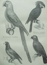 ANTIQUE PRINT C1870'S PARROT ENGRAVING MACAW SMALL TONGUED & GREY PARROT BIRDS