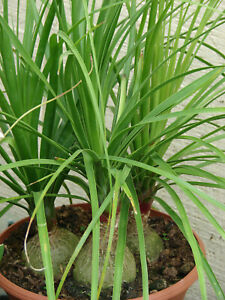Ponytail palm. Pony Tail. Beaucarnea recurvata 10 seedlings $12.00