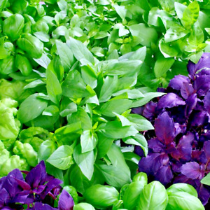 Basil - Mixed Varieties - 100+ Seeds - Heirloom Herb Collection