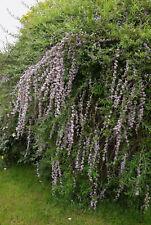 Hänge-Sommerflieder Buddleja alternifolia Pflanze 5-10cm Schmetterlingsflieder