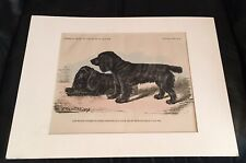 """1887 Antique Wood Engraving of Cocker Spaniels. Brussels, Belgium. 9x13"""" Matted."""