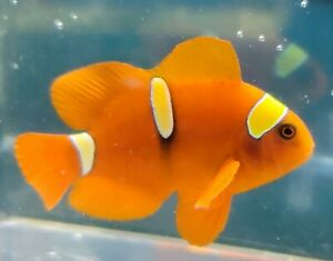 """3"""" Extreme Gold Tiger Bard Maroon Clownfish Designers T R. Actual pics Only One"""