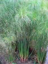 50 Samen Ägyptische Papierpflanze, Echter Cyperus PAPYRUS, Zimmerpflanze