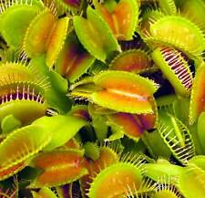 Dionaea Muscipula Seeds - Venus Fly Trap Carnivorous Plant