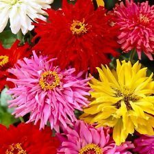 ZINNIA  Burpeeana Giant Mix Cactus Flowered seeds (F 252)