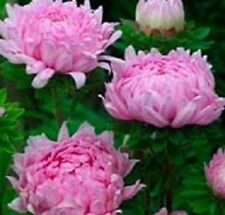 50 Peony Aster Seeds Duchess Coral Rose FLOWER SEEDS Paeony