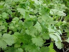 250 Graines BIO de Coriandre à Semer Plante Aromatique