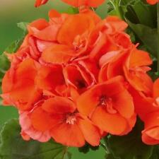 Pack x6 Zonal Geranium 'Power Orange' Summer Garden Plug Plants