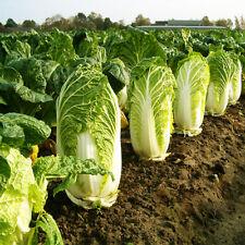 Baechu Kimchi Napa Cabbage Kimchi 100 Seeds My Organic Garden Korean Cabbage