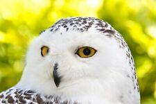 Wildlife Hospital Charity Christmas Xmas Cards - Snowy Owl – pack of 10 New