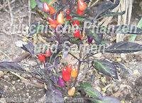 🔥 🌶️ EXPLOSIVE EMBER Chili bunt* für Balkon+Zimmer *10 Samen