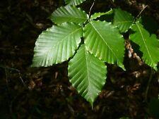 American Beech   Fagus grandifolia   10 Fresh Seeds