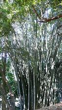 TOP Bambù gigante giganteus di Dendrocalamus 50 Semi freschi/Semi