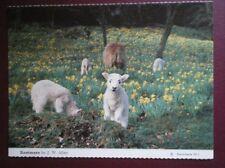 POSTCARD ANIMALS LAMBS AT KENTMERE
