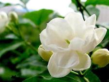 25 SEEDS ARABIAN JASMINE JUSMINUM SAMBAC WHITE SHRUB FLOWER SEEDS Double petal