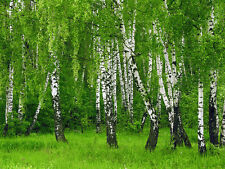 BEAUTIFUL  BIRCH TREE SEEDS GREEN LEAVES, WHITE BARK