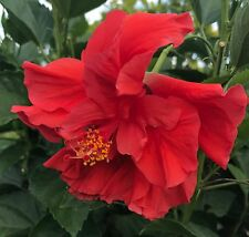 Tropical Hibiscus rosa-sinensis 'Double Red' ~ Live Starter Plant