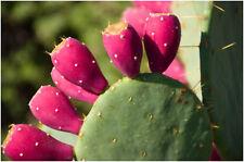 Rare- Red Prickly Pear-Opuntia Macrorhiza-Opuntia ficus-indica 10 Finest Seeds