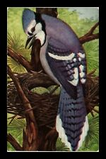 US POSTCARD BLUE JAY BIRD WATCHING OVER NEXT WITH EGGS
