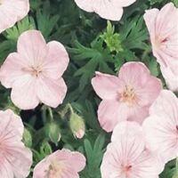 Geranium - Vision Light Pink - 5 Seeds