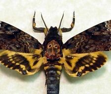 Acherontia Lachesis Male Silence of The Lambs Death Head Moth 8112L