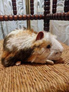 Steiff Ginny Guinea Pig 071911 2251/18 1990 Squeaker