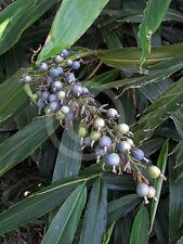 "Alpinia Coerulea""Blue Berry Ginger"