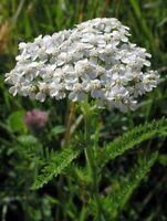 Yarrow- White-  500 Seeds- BOGO 50% off SALE