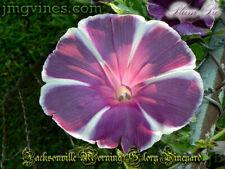 Plum Pie Japanese Morning Glory 6 Seeds