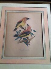Oiseau gravure ancienne Tamatia à Collier encadrement doré marquise saumon